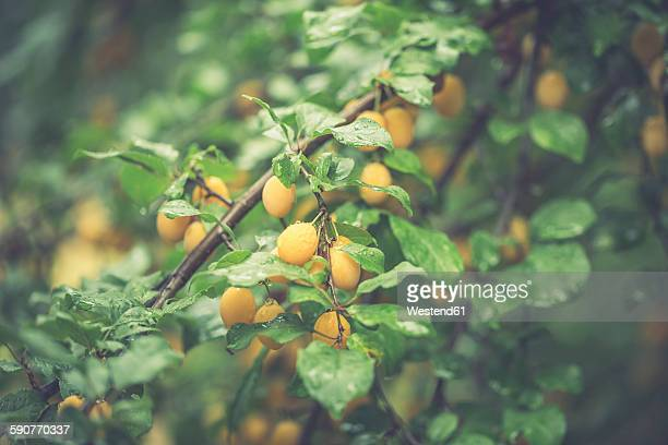 Twigs with mirabelles