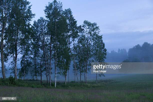 twilight in valley with silver birches - dalsland stock photos and pictures