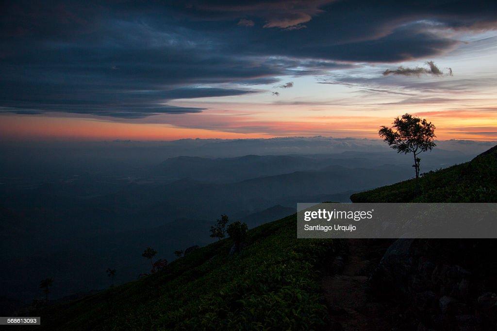 Twilight over a tea plantation : Stock Photo