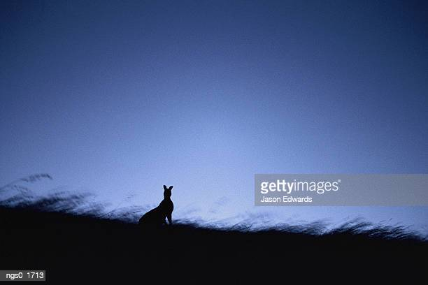 A twilight view of a silhouetted kangaroo