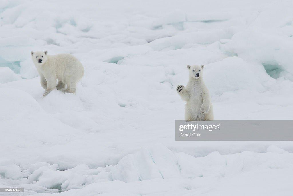 Twin baby polar bear cubs, one waving : Stock-Foto