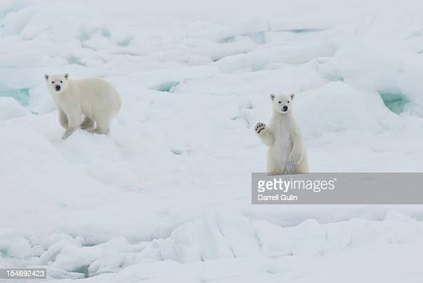 Twin baby polar bear cubs, one waving