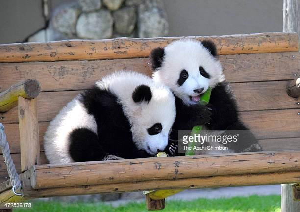 Twin female giant panda cubs Tohin and Ohin are introduced at the outdoor field at the Adventure World on May 8 2015 in Shirahama Wakayama Japan The...