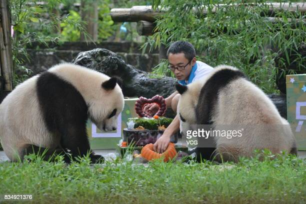 Twin giant pandas brother Bing Bing and younger sister Qing Qing enjoy a cake during their second birthday celebrations at the Dujiangyan base of the...