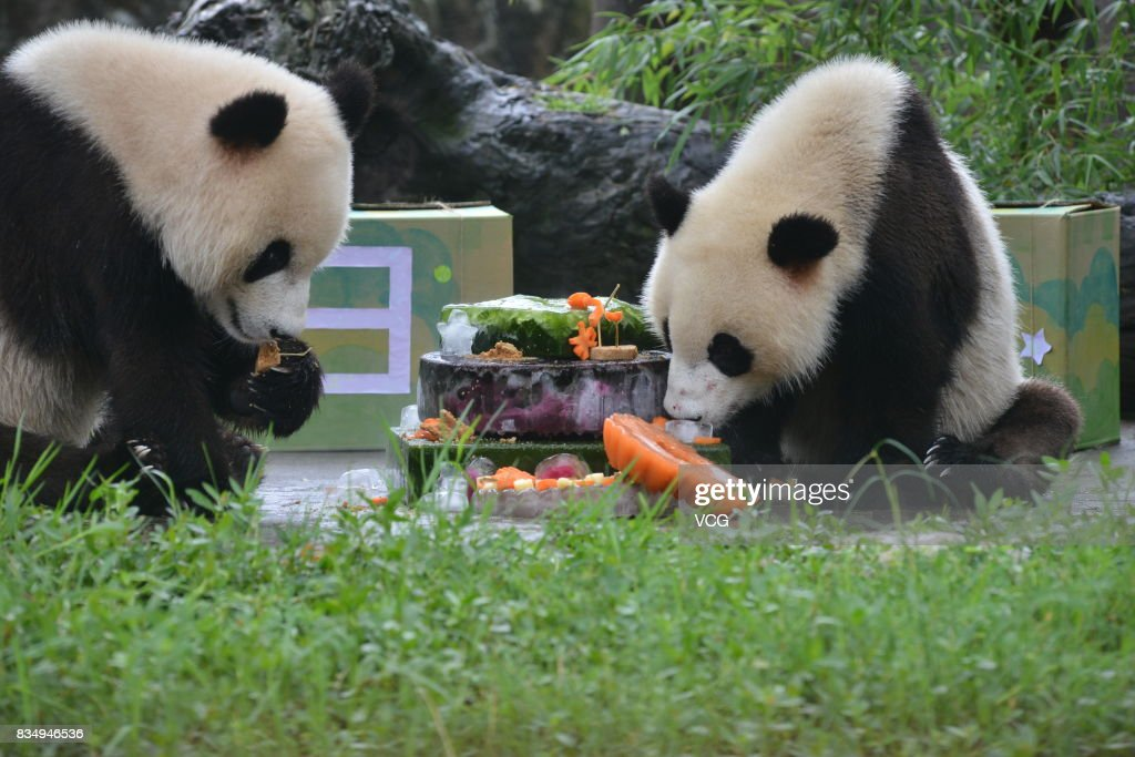 Twin giant pandas brother Bing Bing and younger sister Qing Qing enjoy a cake during their 2nd birthday celebration at the Dujiangyan base of the China Conservation and Research Center for Giant Pandas on August 18, 2017 in Chengdu, China.