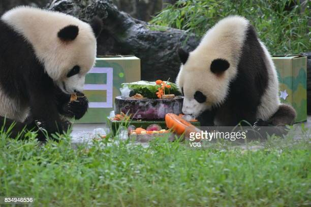 Twin giant pandas brother Bing Bing and younger sister Qing Qing enjoy a cake during their 2nd birthday celebration at the Dujiangyan base of the...