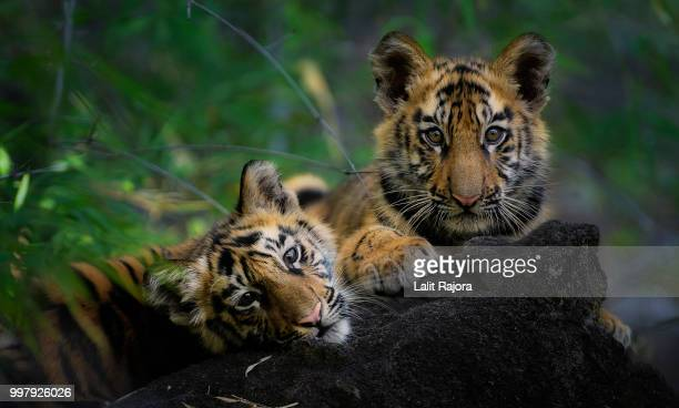twin perfection - tiger cub stock photos and pictures