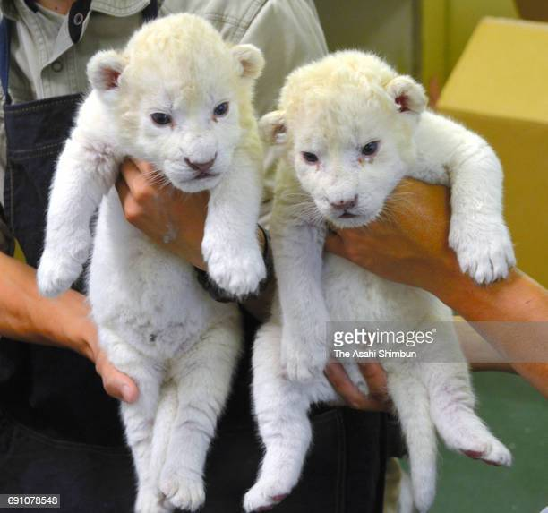 Twin white lion cub are unveiled at Himeji Central Park on May 31 2017 in Himeji Hyogo Japan The twin cub were born on May 22