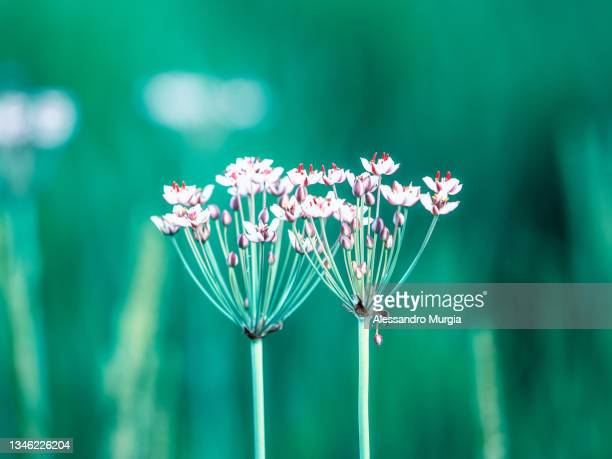 twins in bloom - flower part stock pictures, royalty-free photos & images