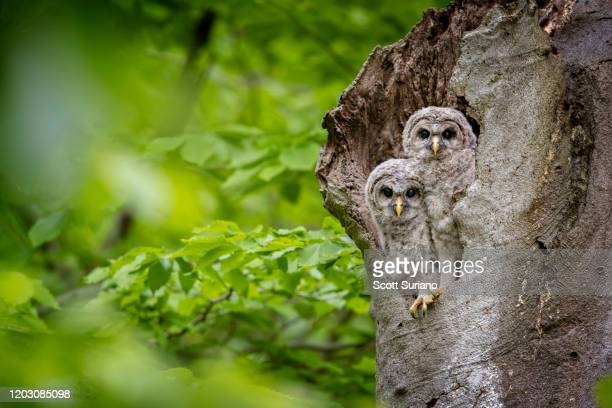 twins - rookery stock pictures, royalty-free photos & images