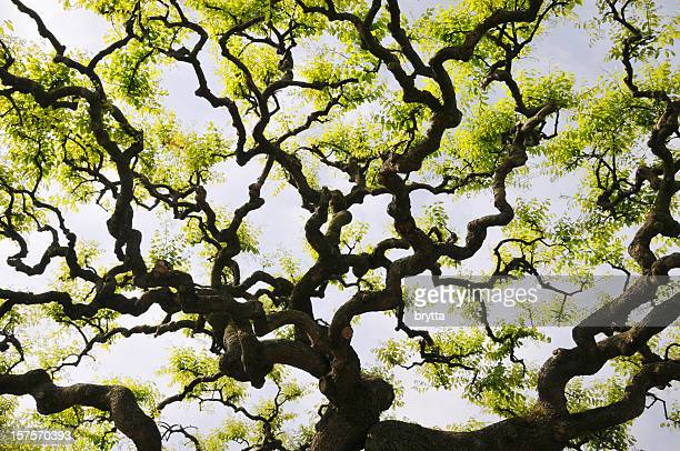 twisted branches and fresh leaves against sky in springtime - mimosa stock pictures, royalty-free photos & images