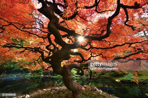 twisted japanese maple tree in autumn color - maple tree stock pictures, royalty-free photos & images