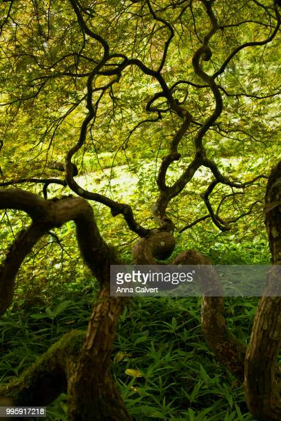 Twisted Maple tree branches