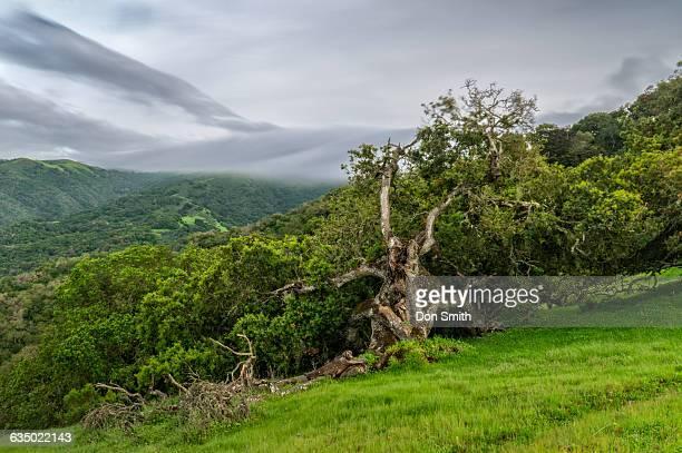 twisted oak - don smith stockfoto's en -beelden