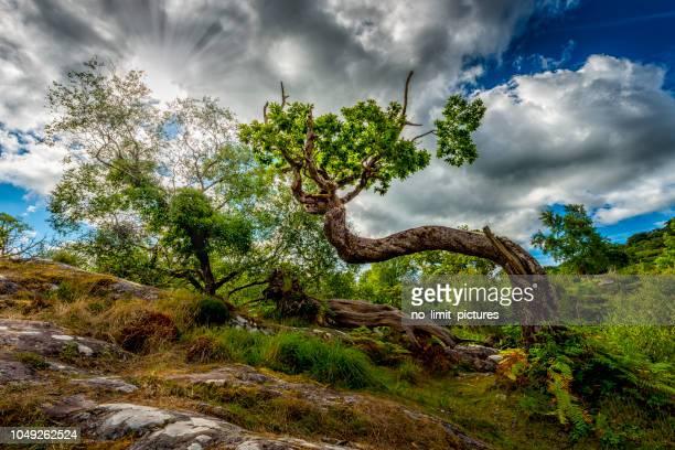 verdrehte baum in wilde irische landschaft - verdreht stock-fotos und bilder