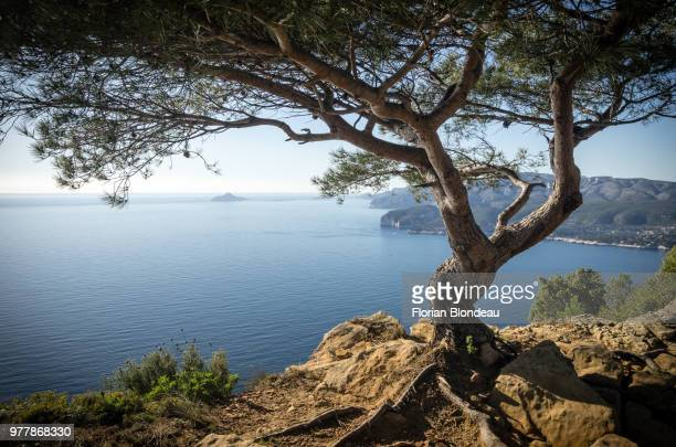 twisted tree on cliff, la ciotat, marseille provence, france - bouches du rhone stock pictures, royalty-free photos & images