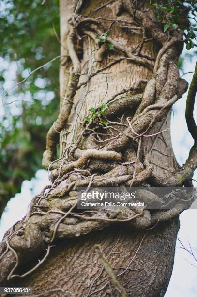 twisted tree trunk - verdreht stock-fotos und bilder