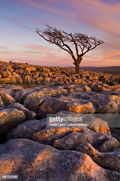 twisted tree, twistleton scar end, ingleton, yorkshire dales national park, england, united kingdom - limestone pavement stock pictures, royalty-free photos & images