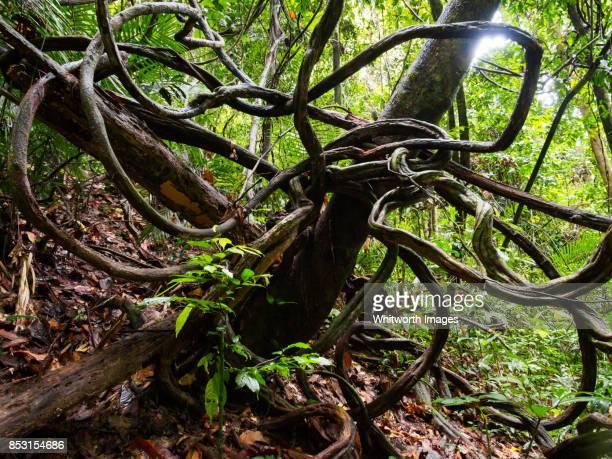 Twisted vine in tropical rainforest in Perak, Malaysia