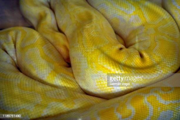 twisted yellow boa skin - albino burmese python - yellow burmese python stock pictures, royalty-free photos & images