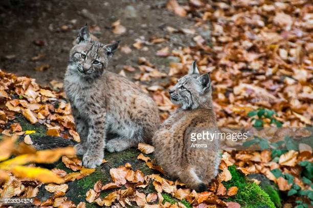 Two 2 month old Eurasian lynx kittens sitting near den in autumn forest
