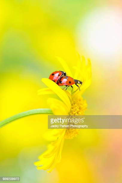 two, 7-spot ladybirds - coccinella septempunctata mating on a yellowleopard's bane flower - seven spot ladybird stock pictures, royalty-free photos & images