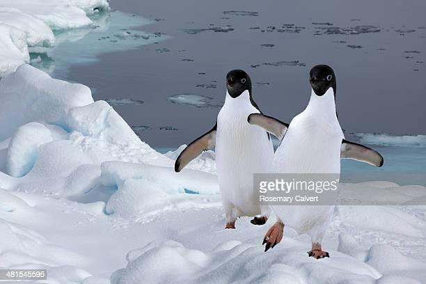 two adelie penguins arrive on ice floe, antarctica - antarctic sound fotografías e imágenes de stock