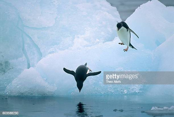 Two adelie penguins on ice floe, one jumping into water