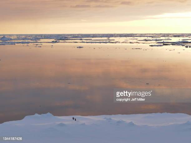 two adélie penguins (pygoscelis adeliae) approach the edge of an iceberg at sunset, southern ocean, antarctica. - pack ice stock pictures, royalty-free photos & images