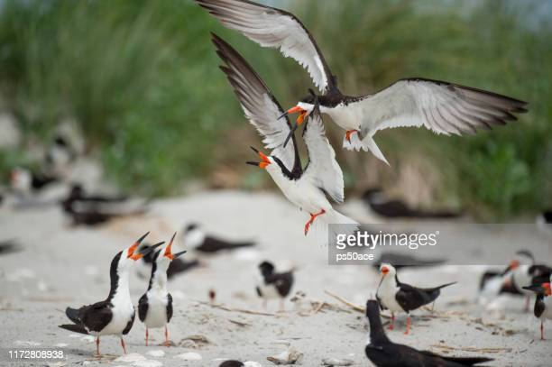 two adult black skimmers fight over