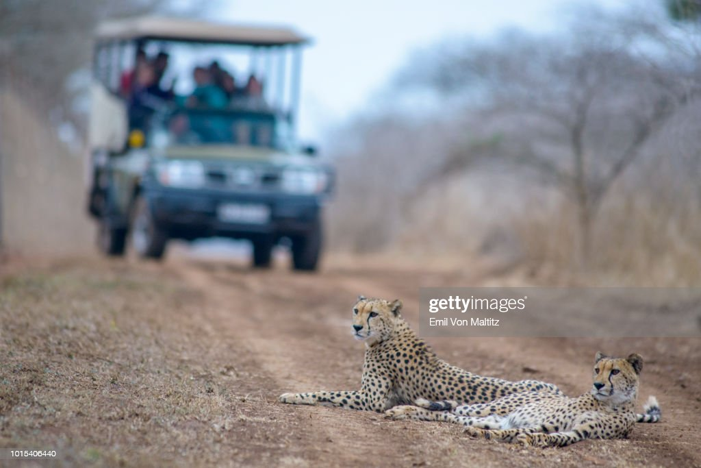 Two adult cheetahs loll on the game drive path of an oncoming tourist filled vehicle in the Thanda Game Reserve in Kwazulu Natal Province, South Africa. Horizontal full colour image. : Stock Photo