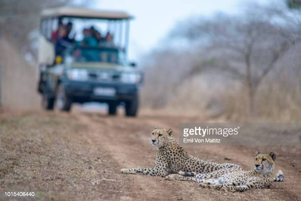 two adult cheetahs loll on the game drive path of an oncoming tourist filled vehicle in the thanda game reserve in kwazulu natal province, south africa. horizontal full colour image. - wildreservaat stockfoto's en -beelden