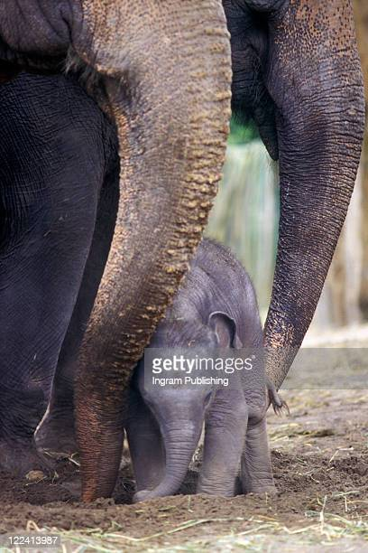 Two adult elephants with a baby elephant
