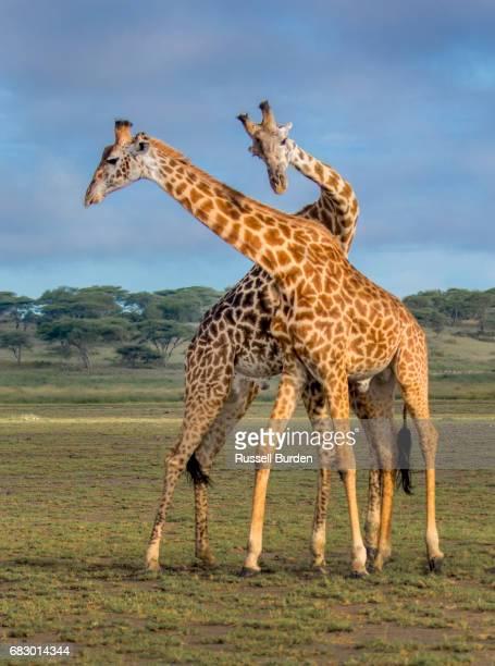 two adult giraffes displaying necking behavior