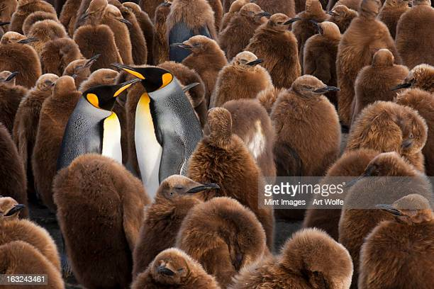 Two adult King Penguins in a breeding colony group, surrounded by penguin chicks with fluffy brown fur, on South Georgia Island