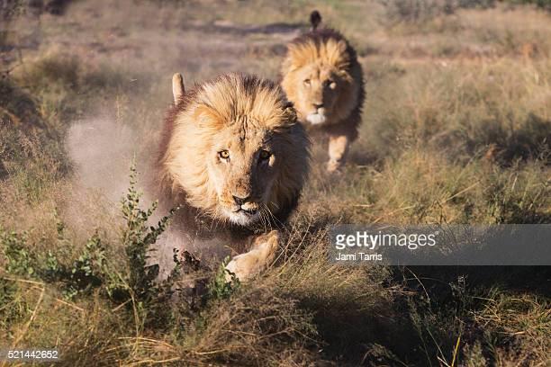 two adult male lions in captivity running at full speed, - leones cazando fotografías e imágenes de stock