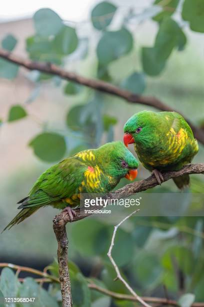 two affectionate scaly-breasted lorikeets - emerald green stock pictures, royalty-free photos & images