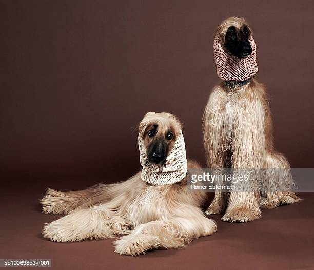 two afgan hounds with headscarves, studio shot - pampered pets stock pictures, royalty-free photos & images