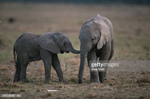 Two African elephant calves (Loxodonta africana) standing, Masai Mara, Kenya