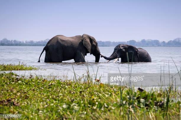 due elefanti africani che fanno il bagno nel fiume shire nel parco nazionale di liwonde, malawi - erbivoro foto e immagini stock