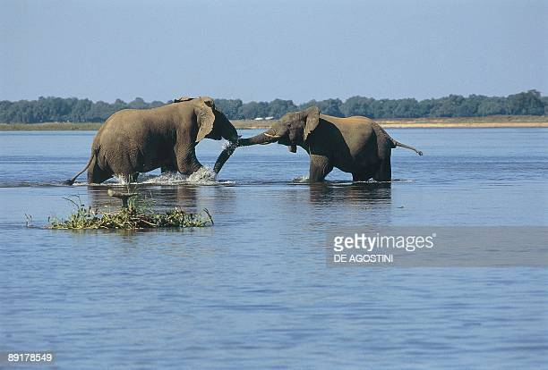 Two African elephants in a river Zambezi River Lower Zambezi National Park Zambia