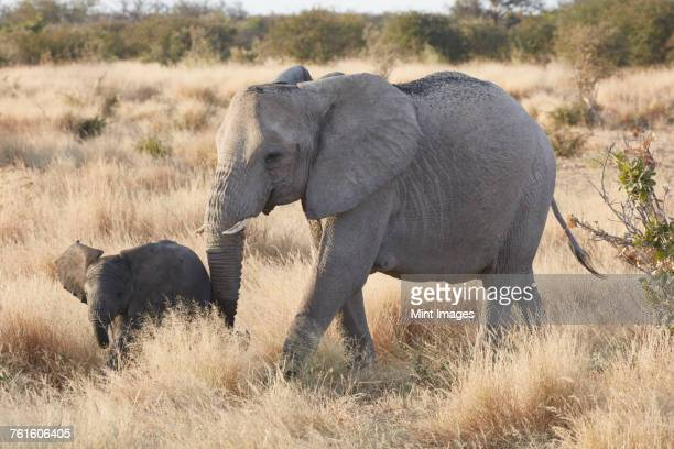 Two African elephants, Loxodonta africana, an adult and a young elephant walking in grassland.