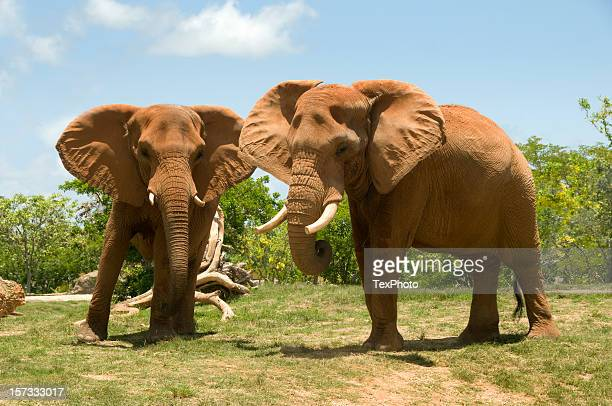 two african elephants - african elephant stock pictures, royalty-free photos & images