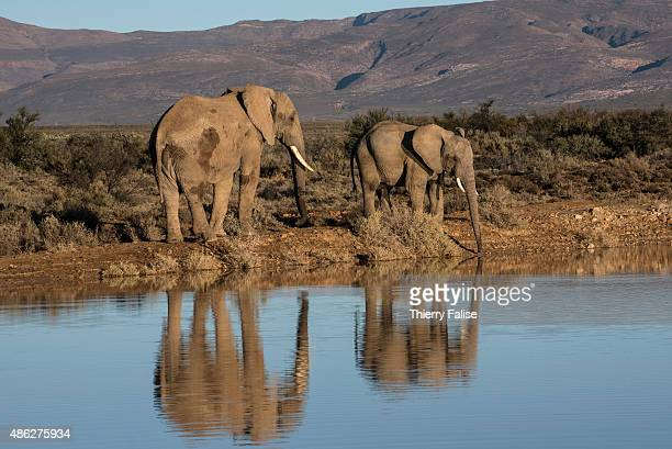 Two African elephants walk past a reservoir in the Inverdoorn Game Reserve Stretching across 10 000 hectares Inverdoorn is one of the largest private...