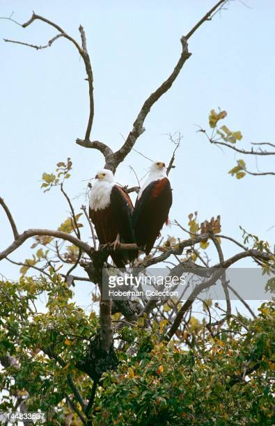 Two African Fish Eagles