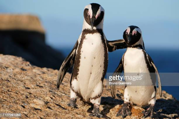 two african penguins hugging on rock at boulders beach - african penguin stock pictures, royalty-free photos & images