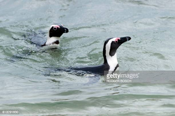 Two African Penguins swim the sea close to where 15 others were released ealier on October 8 in Simonstown about 30Km from the centre of Cape Town...