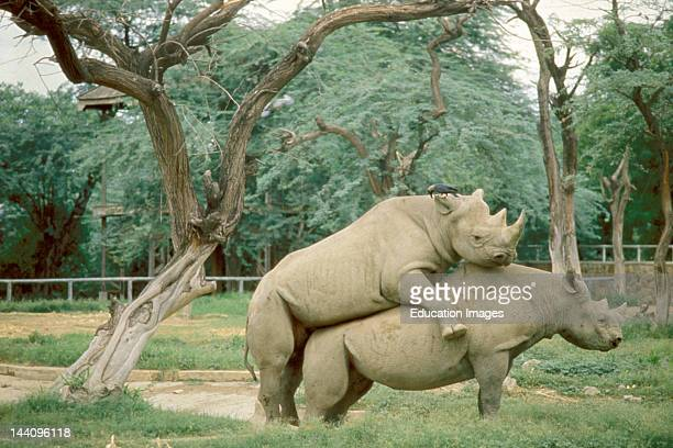 Two African Rhinos Mating