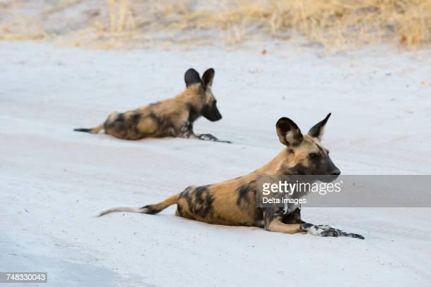 two african wild dogs (lycaon pictus), resting, savuti, chobe national park, botswana, africa - asiatische wildkatze stock-fotos und bilder