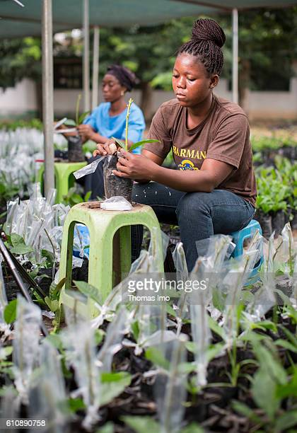 Two African workers refine cashew plants in the Cashew Research Station in Wenchi on September 06 2016 in Congo Ghana